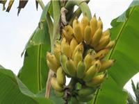 Quy trình trồng và chăm sóc cây chuối vô cùng đơn giản