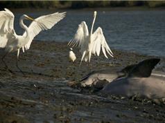 Clip: Cá heo giúp chim cò được bữa no nê
