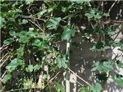 Trầm trồ với giống mướp rừng dài hơn 2m ở Nghệ An