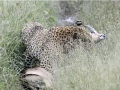 Clip: Linh dương Impala mất mạng vì… chạy sai hướng
