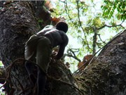 Clip: Thách thức tử thần bằng màn leo cây cao 40m lấy mật ong