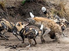 """Clip: Chó hoang """"đánh hội đồng"""" xử đẹp linh cẩu"""