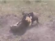 Clip: Vừa vượt sông, linh dương đầu bò đã nhận kết cục bi thảm