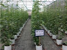 Vĩnh Phúc đưa dưa lê Hàn Quốc vào trồng trong nhà màng cải tiến