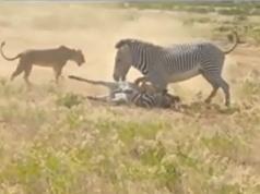 Clip: Ngựa vằn ngu ngốc, gián tiếp giúp sư tử xé xác con