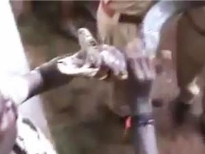 Clip: Dùng tay không bắt rắn hổ mang dài hơn 3 mét