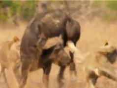 Clip: Trâu rừng tả xung hữu đột giữa 3 con sư tử