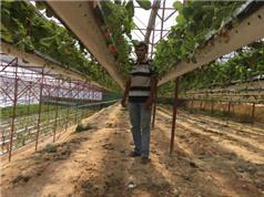 Kiếm 5 tỷ đồng mỗi năm nhờ học trồng dâu tây trên Internet