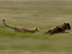 Clip: Báo giết linh dương đầu bò trong chớp mắt