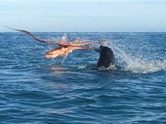 Clip: Bạch tuộc khổng lồ tử chiến kinh hoàng trước hải cẩu