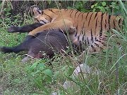 Clip: Lợn rừng ác chiến giành sự sống trước hổ dữ
