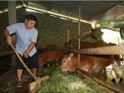 """Tỷ phú Đồng Chum hay chuyện 1 con bò """"đẻ"""" ra 200 triệu đồng"""