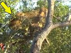 Clip: Sư tử bị mắc kẹt trên cây vì… quá ham ăn