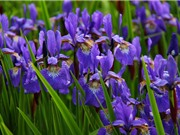 """""""Mục sở thị"""" loài hoa là biểu tượng của Hoàng gia"""