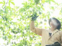Cánh đồng chanh leo 50ha xanh mướt ở Sơn La