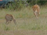 Clip: Báo mẹ liều mạng tấn công sư tử