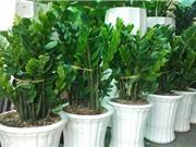 Cách trồng cây kim phát tài mang lại sự may mắn và thịnh vượng