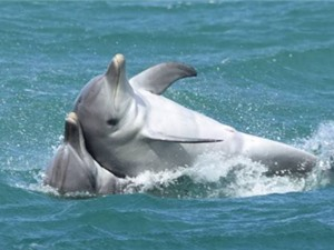 Cá heo đực Australia giao phối đồng tính tập thể