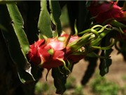 Lão nông tăng thu nhập gấp 10 lần nhờ trồng thanh long