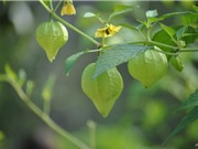 Quả dại tầm bóp giá 700.000 đồng/kg dân Việt xôn xao trồng thế nào?