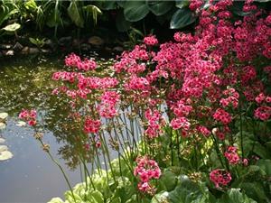 """""""Chết mê chết mệt"""" với vẻ đẹp của hoa anh thảo Nhật Bản"""