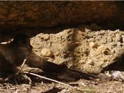 Clip: Khỉ được bữa ăn thịnh soạn nhờ học theo rắn độc