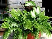 Tự trồng cây dương xỉ trong nhà giúp làm giảm bức xạ từ máy tính, máy in