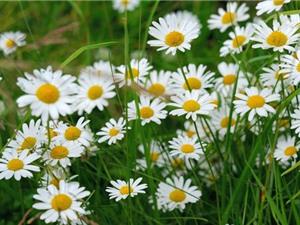 Chiêm ngưỡng vẻ đẹp của loài hoa phổ biến ở châu Âu