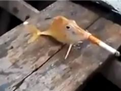 Clip: Phẫn nộ trước cảnh cần thủ ép cá hút thuốc lá