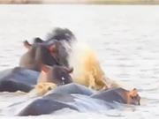 """Clip: Cá mập bò """"nổi điên"""" tấn công hà mã"""