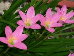 Vẻ mong manh của loài hoa mang sự tích cảm động về tình yêu đôi lứa