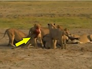 Clip: Kinh hoàng cảnh sư tử lôi xác trâu rừng con ra khỏi bụng mẹ