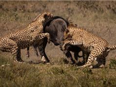 """Clip: Báo săn """"gọi hội"""" truy sát linh dương đầu bò"""
