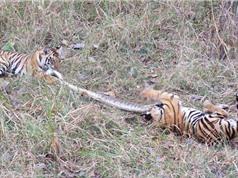 """CLIP ĐỘNG VẬT ĐẠI CHIẾN ẤN TƯỢNG NHẤT TUẦN: Hổ giết trăn, ngựa vằn """"xử đẹp"""" báo săn"""