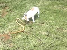 """Clip: Chó nhỏ """"giày vò"""" rắn hổ mang kịch độc tới chết"""