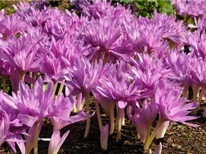 """Bất ngờ với vẻ đẹp của loài hoa được mệnh danh là """"nữ hoàng độc dược"""""""