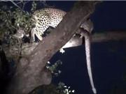 Clip: Báo hoa mai tha trăn khổng lồ lên cây để ăn thịt