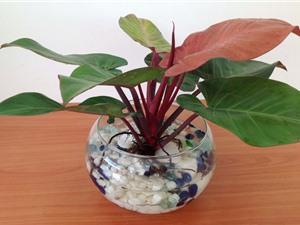 Hướng dẫn trồng trầu bà đế vương đỏ tốt cho phong thủy, hấp thụ được khí độc