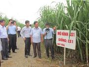 Mía đường Thanh Hóa: Giảm diện tích, tăng sản lượng