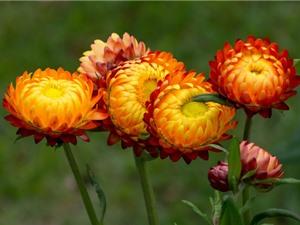 """Chùm ảnh vẻ đẹp của loài hoa """"trường sinh bất tử"""""""