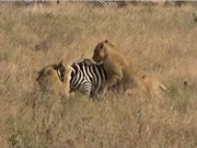 Clip: Bầy sư tử trổ tài mai phục, tóm gọn ngựa vằn