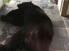 """""""Chết khiếp"""" khi thấy con gấu đen khổng lồ ngủ quên trước cửa nhà"""