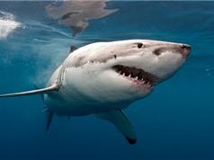 Tại sao không thủy cung nào nuôi nổi cá mập trắng?