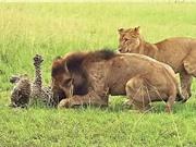 """Báo chết thảm vì bị 9 con sư tử """"đánh hội đồng"""""""