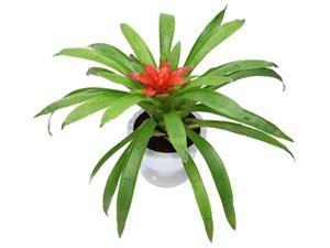 Hướng dẫn trồng cây dứa cảnh nến mang lại tài lộc, may mắn cho gia chủ