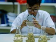 Lúa đặc sản: Đường từ ngân hàng gene ra thị trường