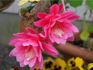 Kinh nghiệm trồng hoa quỳnh cho hoa nở quanh năm