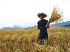 """Chiến lược """"hái vàng"""" từ gạo đặc sản của Thái Lan"""