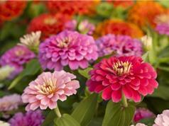Chiêm ngưỡng vẻ đẹp của hoa cô bé lọ lem