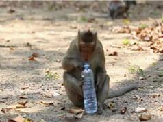 Phát lệnh truy sát đàn khỉ chuyên trộm đồ của du khách
